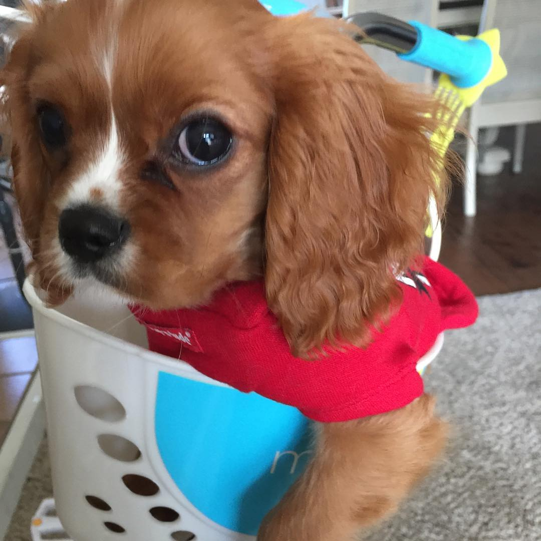 Im cute cavalierkingcharlesspaniel